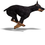 Black Doberman Dog Royalty Free Stock Photo