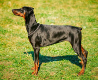 Black Doberman Dog On Green Grass Background Royalty Free Stock Image