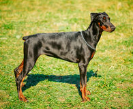 Black Doberman Dog On Green Grass Background Royalty Free Stock Images