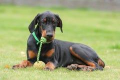 Black doberman dog Royalty Free Stock Image