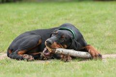 Black doberman dog Royalty Free Stock Photography