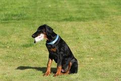 Black doberman dog Stock Images