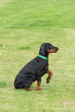 Black doberman dog Stock Photos