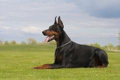 Black doberman dog Royalty Free Stock Images