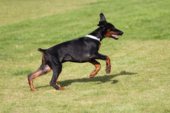 Black doberman dog Royalty Free Stock Photos