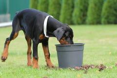 Black doberman dog Stock Photography