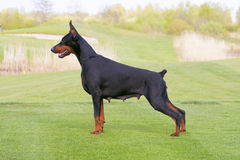 Black doberman dog is standing in profile Royalty Free Stock Images
