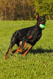 Black Doberman dog on a summer day playing ball Stock Image