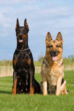 Black doberman and german sheep-dog Stock Photo