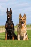 Black doberman and german sheep-dog Stock Photo