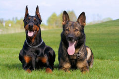 Black doberman and german sheep-dog Royalty Free Stock Image