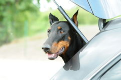 Black doberman pincher Stock Images