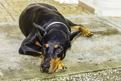 Black doberman pinscher dog Stock Photography