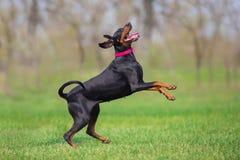 Black doberman portrait. Black doberman run fast in spring field in park stock image