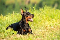 Black doberman portrait in summer lies on Royalty Free Stock Image