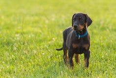Black doberman puppy on the grass. Black doberman puppy on the green grass Stock Photos