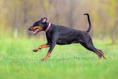 Black doberman run. Fast in spring field in park royalty free stock images