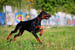 Black doberman running Royalty Free Stock Images
