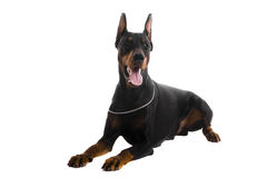 Black doberman on white Stock Image