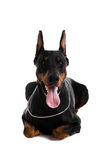 Black doberman on white Royalty Free Stock Images