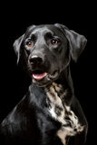 Black Dog Stock Images