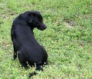 Black Dog. Black senior aged dog looking back at us while sitting in the grass Royalty Free Stock Photos