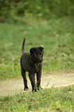 Black dog. Young black dog is always very curious Stock Images