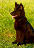 Black Dog. A black dog looking with high attention Royalty Free Stock Photo