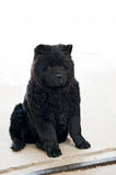 Black dog Stock Image
