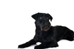 Black  dog Stock Images