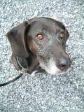 Black dog. Lab hound head stock photos
