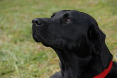 Black gundog Royalty Free Stock Image