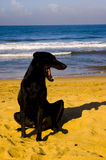 Black dog. A black dog yawning by the beach early in the morning Royalty Free Stock Photo