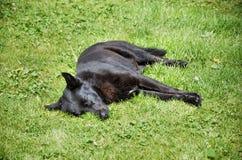 Black dog. Homeless black dog sleeping over the grass Stock Photography