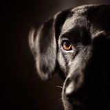 Black dog Stock Photos