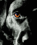 Black dog Royalty Free Stock Photo