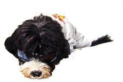 Black dog. Bad black dog and sounglasses Royalty Free Stock Photos
