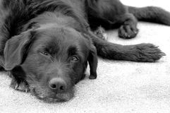 Black dog. Black labrador terrier cross, laying on the concrete floor, looking sad royalty free stock image