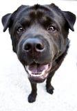 Black Dog Stock Image