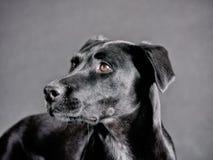 Black dog (72) Royalty Free Stock Images