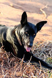 Black dog. Closeup view of a black guard dog on the dry grass in the sun Royalty Free Stock Photo