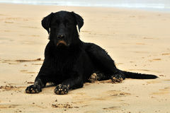 Black dog. Seated at sand beach Stock Images