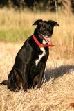 Black dog. Sitting in dry grass Stock Photos