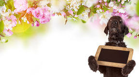 Black dog Amy holding small black table, spring theme. Royalty Free Stock Photos