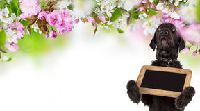 Black dog Amy holding small black table, spring theme. Royalty Free Stock Photography