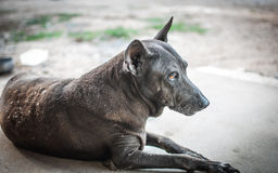Black-dog animal Stock Images