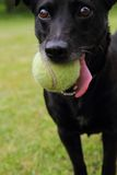 Black dog as tennis player Royalty Free Stock Photography