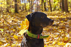 Black dog in autumn park. Royalty Free Stock Image