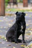 Black dog in autumn season. Black dog on the street in autumn season Stock Photo