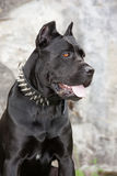 The black dog. Black dog on the background of a concrete wall. Breed Cane Corso Stock Photo